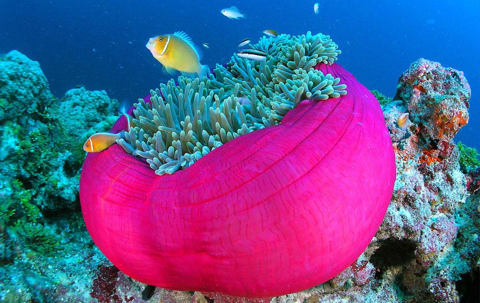 pink-sea-anemone.jpg